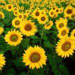 ۶۴۰ تن محصول آفتابگردان در دزفول برداشت شد