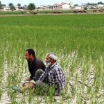 نگرانی کشاورزان دزفول از اعلام ممنوعیت کشت پائیزه